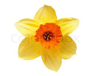 Studio Shot af gule og orange Daffodil isoleret på hvid baggrund