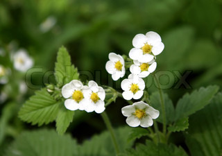close up of blossoming wild strawberry