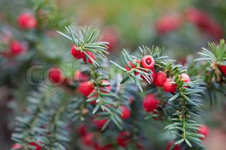 røde bær på grene af gran