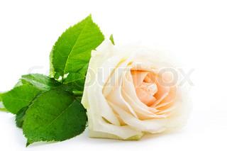 White Rose isoleret på hvid baggrund