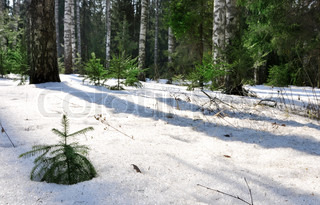 winter spruce tree covered with fluffy snow