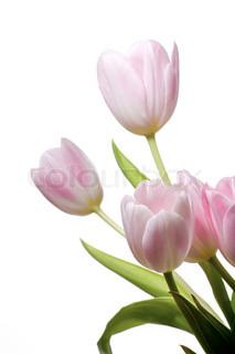 Sart lyserøde tulipaner