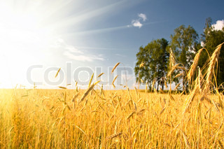 Summer view of ripe wheat under sun and blue sky