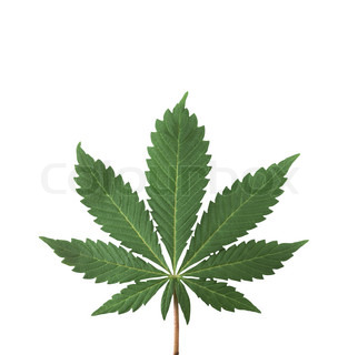 marijuana leaf isolated on white background