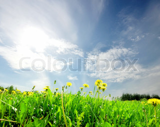 landscape green field with dandelion daisies  under blue sky and bright sun