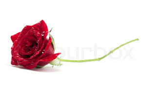Red rose with dew drops on a white background