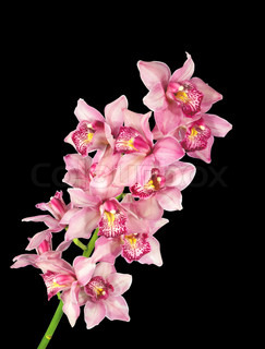 Perfect pink orchid isolated on black background