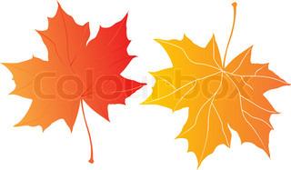 to efterår ahorn blade hen over den hvide baggrund