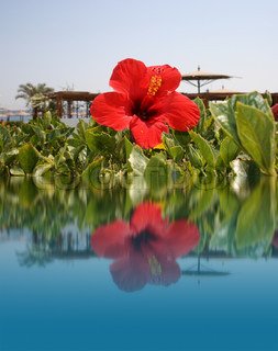 Red flower on water, beach resort