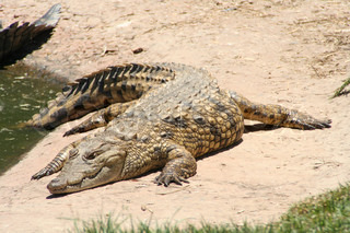 crocodile in sun