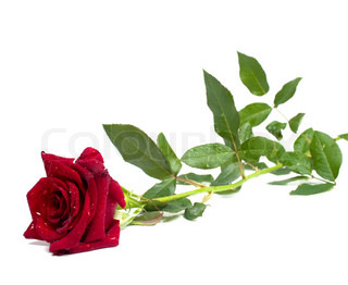 rød rose på en hvid baggrund