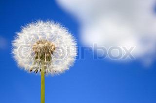 Pusteblume fliegen wind stock foto colourbox for Fliegen lebensdauer