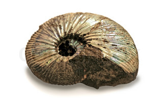 fossilized ammonite on white