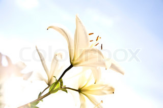 White Lily Under The Sunlight
