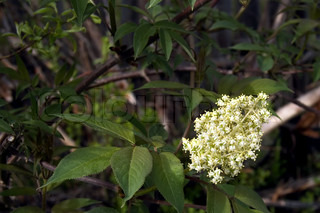 Blooming cream colored tree on the background branches and green leaves