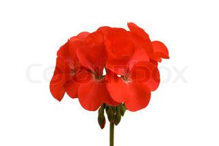 Red geranium blomst på en hvid baggrund ( isoleret)