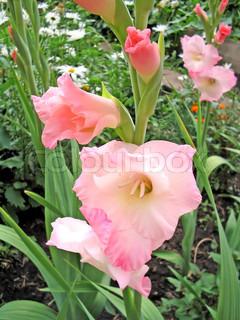 Pink Gladiolus på baggrund af grønne blade og hvide margueritter