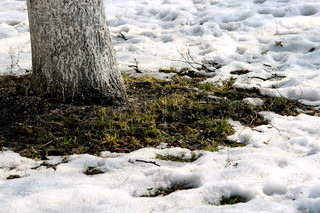 Growing grass and thawing snow in the spring at a tree