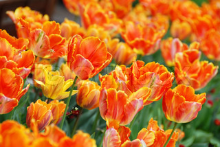 red and yellow  tulips natural floral backgrounds outdoor