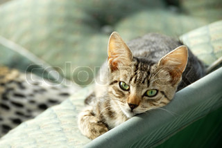 young domestic mixed-bread gray cat lying on green bench outdoor