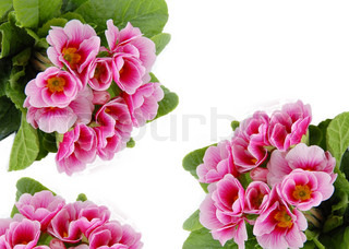 pink spring flowers frame isolated over white