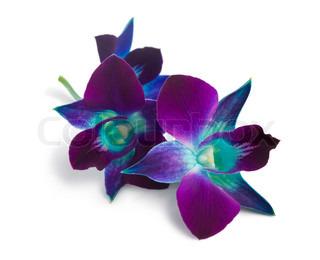 Deep Purple orkidé isoleret på en hvid