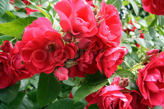 Red wild roses flowers