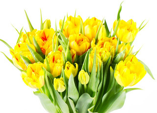 fresh yellow tulip flowers