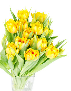 fresh yellow tulip flowers on white