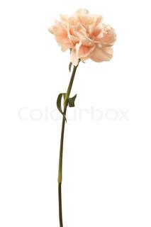 Flot lyserød blomst på en hvid baggrund