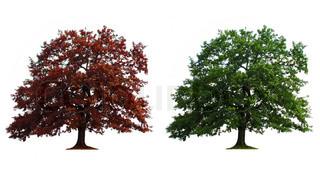 grøn og rød gamle egetræer isoleret over hvide