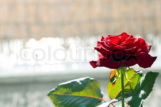 big beautiful red rose on a background of nature
