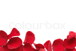 Border made from red rose petals isolated on white background with clipping path