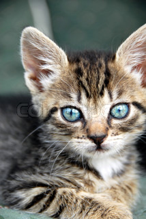 little baby mixed-brad cat with blue eyes portrait