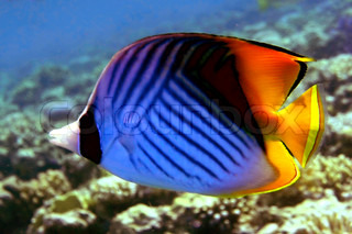 Threadfin Butterfly Fish or 'Chaetodon Auriga', Ko Tao island, Thailand