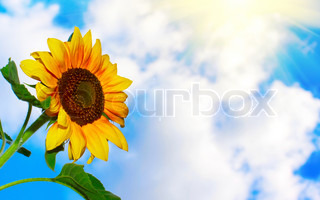 Sunflower on sky background