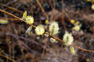 Flowering willow tree on a background of cinnamon sticks