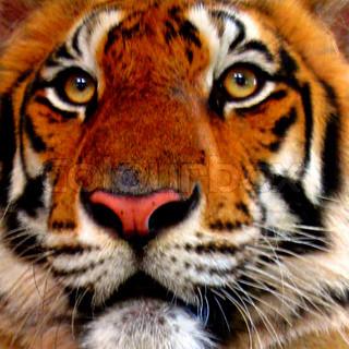 close-up auf einem Tiger ins Gesicht