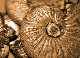 fossilized ammonites background
