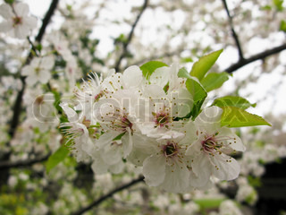 closeup of white cherry flowers in spring, Prunus