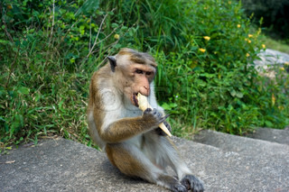 Monkey eating ice-ream