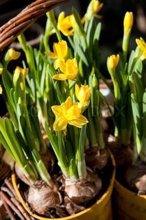 Close -up af potteplanter gule påskeliljer udendørs.