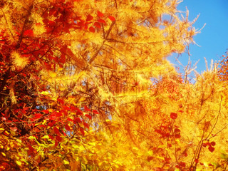 bright colorful image of the trees, leaves, forest and autumn