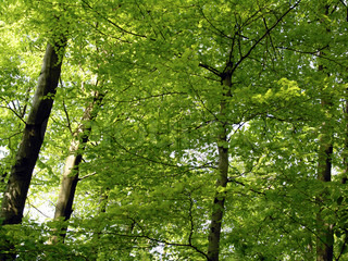 Close-up Danish beech forest. Green all over.