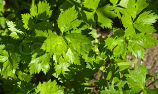 celery leaves growing in the garden