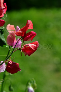 Image of 'climber, sweet pea, plant'