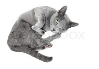 Russian blue cat laying on a white background