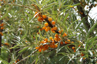 Green bush of orange sea-buckthorn with ripe berry