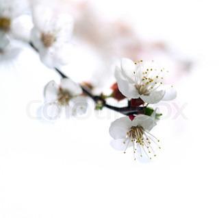 Billede af 'blomster, kirsebær, gren'