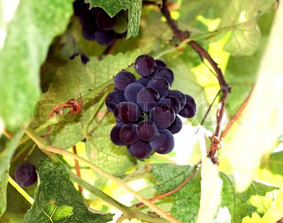 Purple grapes growing on vine